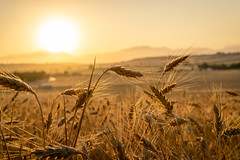 golden grain (Artur Wala) Tags: grain sunset sunsetlight spain mallorca field kornfeld goldenhour sonyalpha6000 a6000 sigmalens vacation travel amateurphotography travelphotography corn