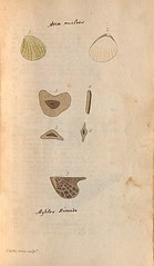 n32_w1150 (BioDivLibrary) Tags: greatbritain mollusks museumsvictoria bhl:page=57640246 dc:identifier=httpsbiodiversitylibraryorgpage57640246 conchologicaldictionary conchology shells britishisles britishislands williamturton british