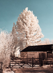 Shed (graemes83) Tags: ir 720nm full spectrum tree fir shed barn infrared sky outdoors gate