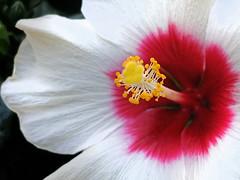 Hibiscus in the flowershop (rotraud_71) Tags: hibiscussyriacus eibisch flower garden macro fantasticflower