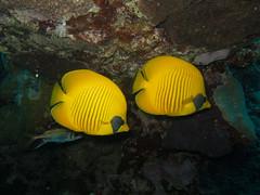 Voyage du club de plongée Galatée à El Quseir (D.Fournout) Tags: plongée animal merrouge poisson papillon elquseir albahralahmar egypte egy image:rating=3 file:originalfilename=20090520090511103625cr2