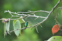 Chlorostilbon melanorhynchus. El Retiro Antioquia (camiloadolfozabala) Tags: nikond3400 hummingbird colibri colombia avesdecolombia aves birds