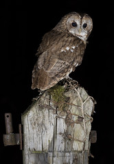 Tawny Owl (Ian howells wildlife photography) Tags: ianhowells ianhowellswildlifephotography nature naturephotography nationalgeographic night canon canonuk flash birdofprey bird bbcspringwatch wildlife wildlifephotography wales wild wildbird wildbirds tawnyowl tawny