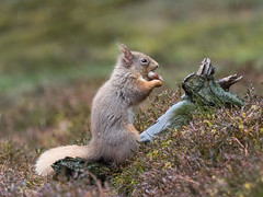 P3156915e1 (David W Geddes) Tags: squirrel red cairngorms scotland