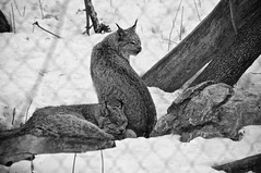 Lynx (bob august) Tags: 2019 2019©rpd'aoust animals animaux aperture3 bw blackwhite canada d90 fauneanimalière hiver lynx lynxducanada march mars montréal nikkor18300mm nikon nikond90 noiretblanc winter zoo zooecomuseum montréal québec