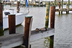 Let sleeping ducks lie (lauren3838 photography) Tags: laurensphotography lauren3838photography landscape wildlife duck md maryland marylandphotographer pier harbor cambridge dorchestercounty bird boat boating nature ilovenature nikon d750 tamron