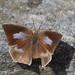 Angled sunbeam butterfly female (Curetis acuta paracuta, ウラギンシジミ)