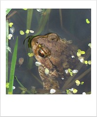 oh, hello! (Edinburgh Nette ...) Tags: frogs march19 amphibians ponds