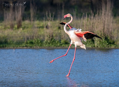 Flamenco común/ Greater Flamingo (Phoenicopterus roseus) (Jacobo Quero) Tags: flamingo flamenco phoenicopterus ave bird birding rosa pink málaga nature wildlife animal naturaleza nikon