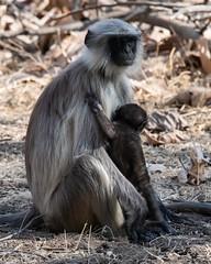 Mother and Baby (iamfisheye) Tags: 300mm monkey naturetrek d500 langur xqd february animal sassangir vr f4 primate india raremammalsandbirdsofgujarat tc14iii afs gujarat 2019 pf nikon