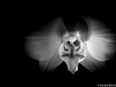 Orchid in the night (NICOLAS BELLO) Tags: baw blackandwhite luminosity nature lumiere noiretblanc flower night beautiful luminosite amazing fleurs orchidee flowers bw light huawei fleur monochrome beauty