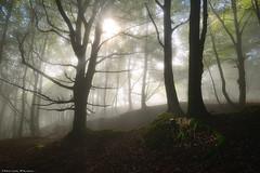 Breaking the Shadows (Hector Prada) Tags: forest bosque autumn otoño mist bruma fog niebla shadows light sombras luz sunlight leaves hojas tree árbol backlight contraluz roots raices idyllic dreamy paísvasco basquecountry