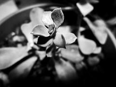 keep on growing (jojoannabanana) Tags: 3652018 blackandwhite canonpowershot closeup details macro monochrome sd1300 shadows succulent