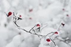 winter mood (Vadim Beldiy) Tags: winter wintermood snow fallofsnow snowfall snowcovered tree trees nature nationalgeographic ngc photography photographer vadimbeldy vadimbeldiy naturebynikon bokeh rosehip dogrose helios81n helios81h helios81 гелиос81н гелиос81 мсгелиос81н 50mm manualfocus manuallens ussrlens asbeautifulasyouwant вадимбельдий бельдийвадим platinumheartaward