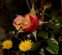 la imagen, para La Paz con Flickr (angelalonso4) Tags: canon eos 7d mark ii tamron sp 90mm f28 di vc usd macro11 f004 ƒ100 900 mm 1250 100 flor flower rosa yellow rojo verde rose explorar explore nature natura naturalmente