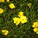 wet Guinea flower (busyBlueMtsGranny) Tags: hibbertia guinea flower cradlemountainnationalpark tasmania