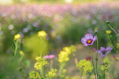 Flowers field (Vincent_Ting) Tags: cosmos 波斯菊 微距 macro 散景 bokeh field taiwan zeiss100mmf2 vincentting closeup 特寫