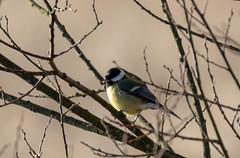 Great Tit (Liam Waddell) Tags: small bird great tit grass tree bush irvine bogside sssi ayrshire scotland