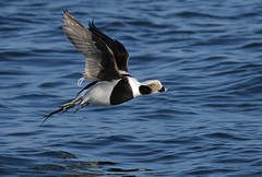 """""""Gravity? ...What's that?"""" (Slow Turning) Tags: clangulahyemalis longtailedduck male bird duck birdinflight flying bif water lake wings nature autumn fall southernontario canada"""