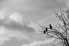 Les perdants. (Canad Adry) Tags: paris vivitar auto 200mm f35 cormoran bird savage liberty sky shadow silhouette cloud cloudy tree cormorant et blanc noir black white bw monochrome nature animal countryside country frame branches telephoto