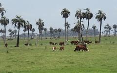 Rural (carlos_ar2000) Tags: rural campo field palmera palm vaca cow naturaleza nature animal verde green arbol tree rocha uruguay
