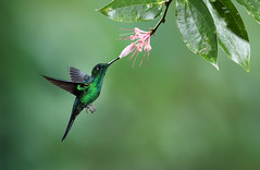 Green-crowned Brilliant Hummingbird (ashockenberry) Tags: ashleyhockenberryphotography animal beautiful bird beauty vacation travel tourism flower nectar hummingbird wildlifephotography wildlife wild wilderness naturephotography nature natural habitat landscape light forest rainforest jungle tropical tiny ornithology