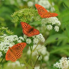 Argynnis paphia (Ramunė Vakarė) Tags: argynnispaphia silverwashedfritillary butterfly nymphalidae nature grass lithuania ramunėvakarė eičiai lepidoptera insect