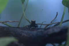 Poison Dart Frog 2 (smcfarlandphoto) Tags: poisondartfrog frog amphibian photography macro nikon poison amphibians
