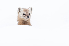 Pine Marten peering out from behind snowbank (dwb838) Tags: algonquinpark negativespace winter pinemarten snow