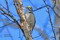 Black Backed Woodpecker_IMG_7884 (bud_marschner) Tags: blackbackedwoodpecker creamersfield fairbanksalaska
