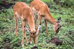 Two little devils... (Manon van der Lit) Tags: africa afrika uganda oeganda lakemburonationalpark lakemburo gamedrive safari wildlife impala two impalas gazelle male animal mammal