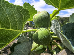 Alf 0001 - 0483 (Alf Ribeiro) Tags: agribusiness agriculture brazil rural agricultural america crop cut farm farmland field fig figs food fresh fruit green immaturity leaves nature outdoor plant production raw south tree