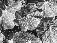 Veined Leaves (pmorris73) Tags: arboretum pennstateuniversity statecollege pennsylvania century 15cb2319 2kb2619