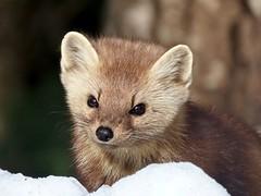 Pine for you (Meryl Raddatz) Tags: pinemartin nature naturephotography wildlife canada algonquinpark mammal