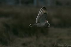 Short Eared Owl-4016 (WendyCoops224) Tags: 100400mml 80d fens winterwatch canon eos ©wendycooper short eared owl asio flammeus