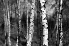 fomapan200_13x18_0004 (ekech) Tags: analog analogue film filmisnotdead ishootfilm istillshootfilm largeformat grosformat buyfilmnotmegapixels fomapan foma fomapan200 rodinal wald birken forest birches schwarzweiss blackwhite monochrome 13x18 13x18holzkamera caltar caltar305mm