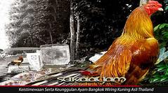 Keistimewaan Serta Keunggulan Ayam Bangkok Wiring Kuning Asli Thailand (sonicm035) Tags: sabung ayam online agen bandar