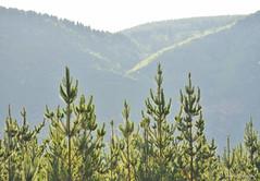 La libertad no tiene precio (volckmannfotografie) Tags: chile arboles montaña san fabian de alico ñuble nikond7200 nikon d7200 70300mm joaquinvolckmann jvolckmann mountain green landscape