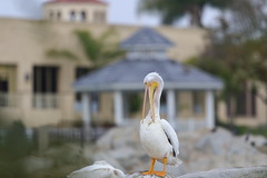American white pelican (Phátography 分店) Tags: alhambra almansorpark americanwhitepelican pelican whitepelican bird birdwatching california canon canoneftelephoto200mmf20 park outdoor wildlife waterfowl 200mm 2019