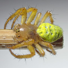 Araniella cucurbitina (Clerck 1757) ♀ (Araneæ Araneidæ Araneinæ Cyclosini) (Elena Regina) Tags: araniella spider araneidae araneae araneinae cyclosini animalia arthropoda arachnida araniellacucurbitina