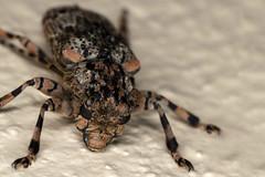 Flat Face, Pt. 3 - _TNY_7458 (Calle Söderberg) Tags: macro canon canon5dmkii canoneos5dmarkii canon5dmarkii 5d2 flash ringflash yongnuo yn14ex raynox dcr250 flatfacedlonghorn longhornbeetle longhorn cerambycidae thailand kohlanta kolanta coleoptera skalbagge beetle mottled hair hairy beige brown tan insect långhorning compoundeyes lamiinae coptops annulipes äktabockbagge bockbagge antennae allätarbagge polyphaga f19