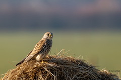 Torenvalk (Corine Bliek) Tags: falcotinnunculus falcons bird birds roofvogels roofvogel birdsofprey vogel vogels nature natuur wildlife birding falconidae valk