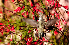 Anna's Feeding On Firecracker Plant (http://fineartamerica.com/profiles/robert-bales.ht) Tags: arizona birds foothills haybales hummingbird people photo places states calypteanna green trochilidae aves nectar brightplumage hummers southwest wild wildlife nature male migration bird flying panoramic scenic canonshooter pollination greetingcards deserthummingbird sonoran mojavedeserts californiacalypteannas wow robertbales photographhummingbird fly wings annas feather eating hovering tinybird flyingbirds iridescence iridescent red firecracker