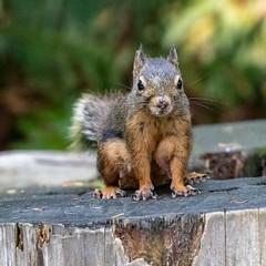 Mingling With The Tourists (gecko47) Tags: animal mammal rodent squirrel douglassquirrel pinesquirrel chickaree rodentia vancouver tamiasciurusdouglasii capilanosuspensionbridge female stump