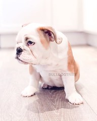 Patiently waiting for dinner... But not without some sass #hurryimstarving (Michele Nicolette) Tags: ifttt instagram bulldog english bully dog cute