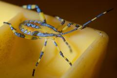 Who am I? (OzzRod (catching up)) Tags: sony a7rii autopentacon50mmf18 macro insect shieldbug extensiontube lumecube newcastle australia uncropped clownbugnymph eucalyptustipbug amorbussp