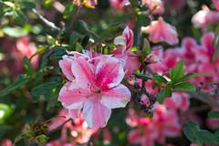 A Master Gardener's Work (Carol (vanhookc)) Tags: rhododendron azaleas flowers pinkblossom