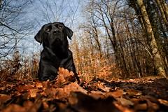 wood mouse I (uwe.kast) Tags: labrador labradorretriever labradorredriver hund haustier dog bichou wald wood laub warm panasonic lumix leica leicadg1260f2840
