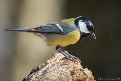Mésange charbonnière (DorianHunt) Tags: birds bokeh greattit march 2019 switzerland nikond500 sigma 150600mm