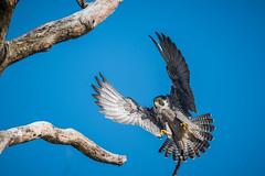 Peregrine Falcon (rob.wallace) Tags: